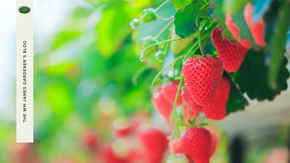 How To Grow Strawberry Plants In The UK