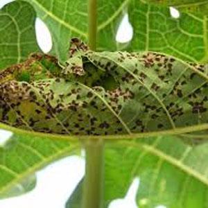 black spots on plant leaf